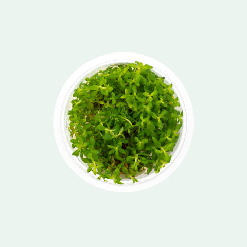 Shop Scrophulariaceae Limnophila Sp. Aquatic Plants - Glass Aqua