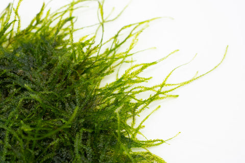 Spiky Moss Large Mat Aquatic Plant for Planted Aquarium Tank