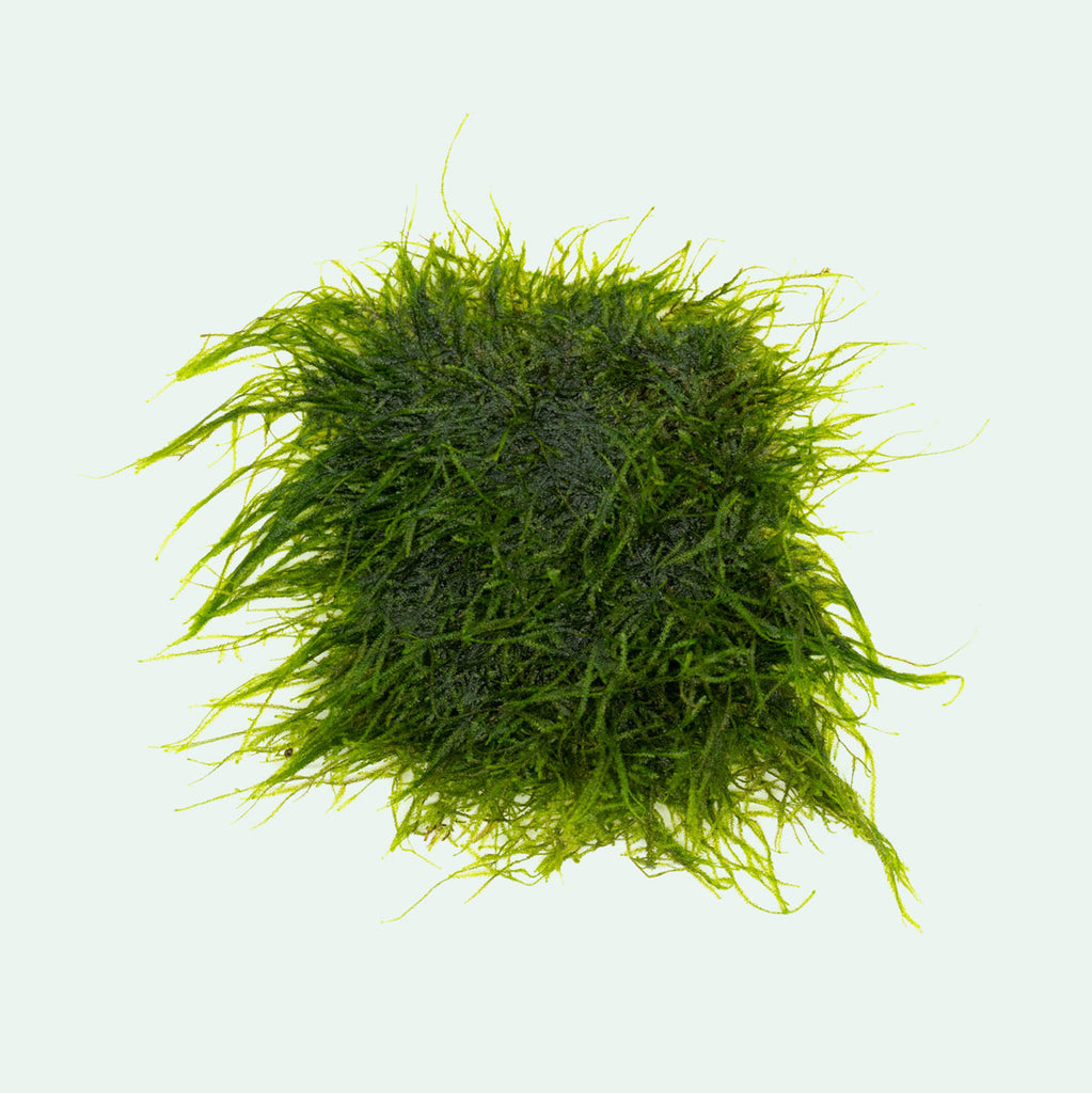 Shop Spiky Moss Large Mat Aquatic Plants - Glass Aqua