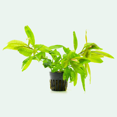Shop Staurogyne Bihar Aquatic Plants - Glass Aqua