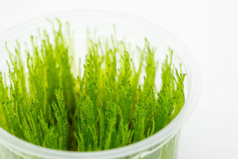 Shop Taiwan Moss Aquatic Plants - Glass Aqua