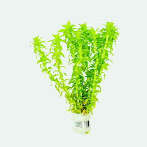 Shop Tonina Fluviatilis Aquatic Plants - Glass Aqua