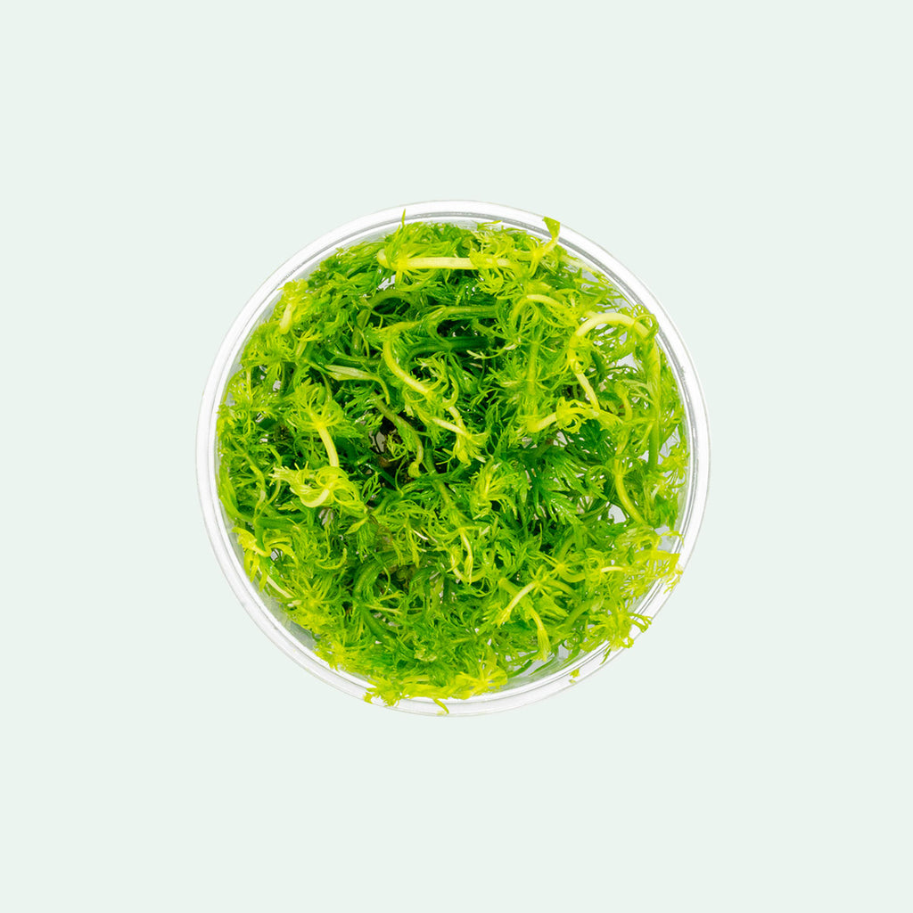 Shop Limnophila Heterophylla Aquatic Plants - Glass Aqua