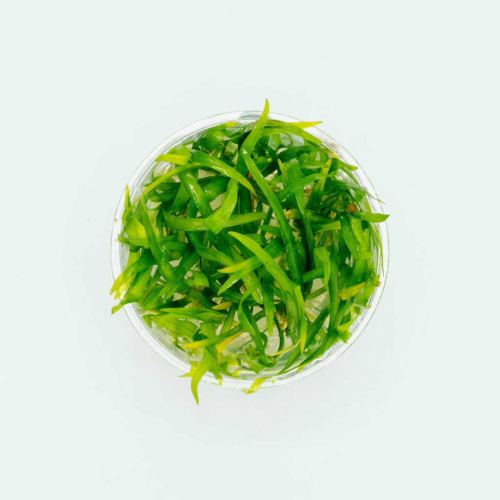 Shop Sagittaria Subulata Tissue Culture by UNS Aquatic Plants - Glass Aqua