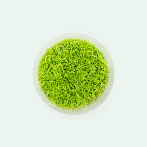 Shop Utricularia Graminifolia Aquatic Plants - Glass Aqua