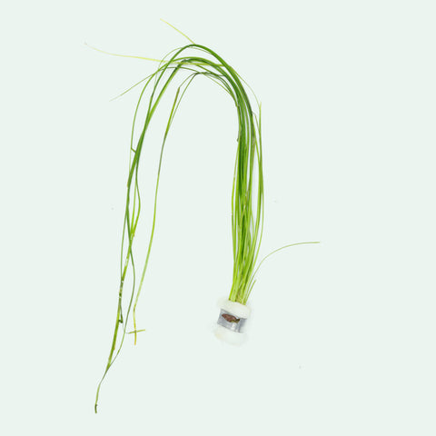Shop Vallisneria Nana Aquatic Plants - Glass Aqua