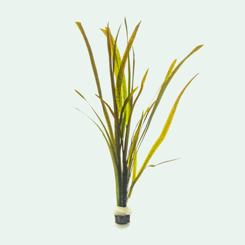 Shop Vallisneria Spiralis Leopard Aquatic Plants - Glass Aqua