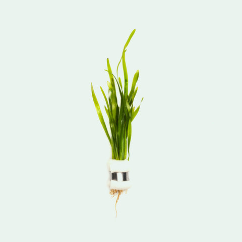 Shop Vallisneria Torta Aquatic Plants - Glass Aqua