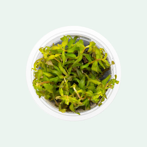 Ammania Gracilis Aquarium Plant for Planted Aquarium Tank
