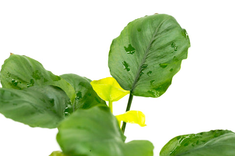 Shop Anubias Round Leaf Aquatic Plants - Glass Aqua