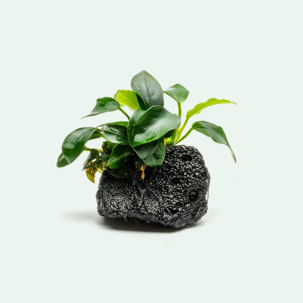 Anubias Nana Petite Popular Easy Aquarium Plant for Planted Tank