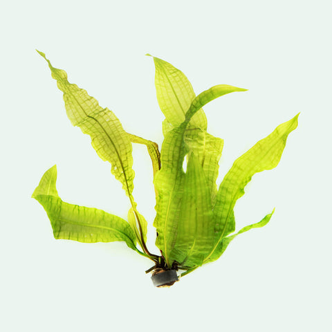 Shop Aponogeton Boivinianus Aquatic Plants - Glass Aqua
