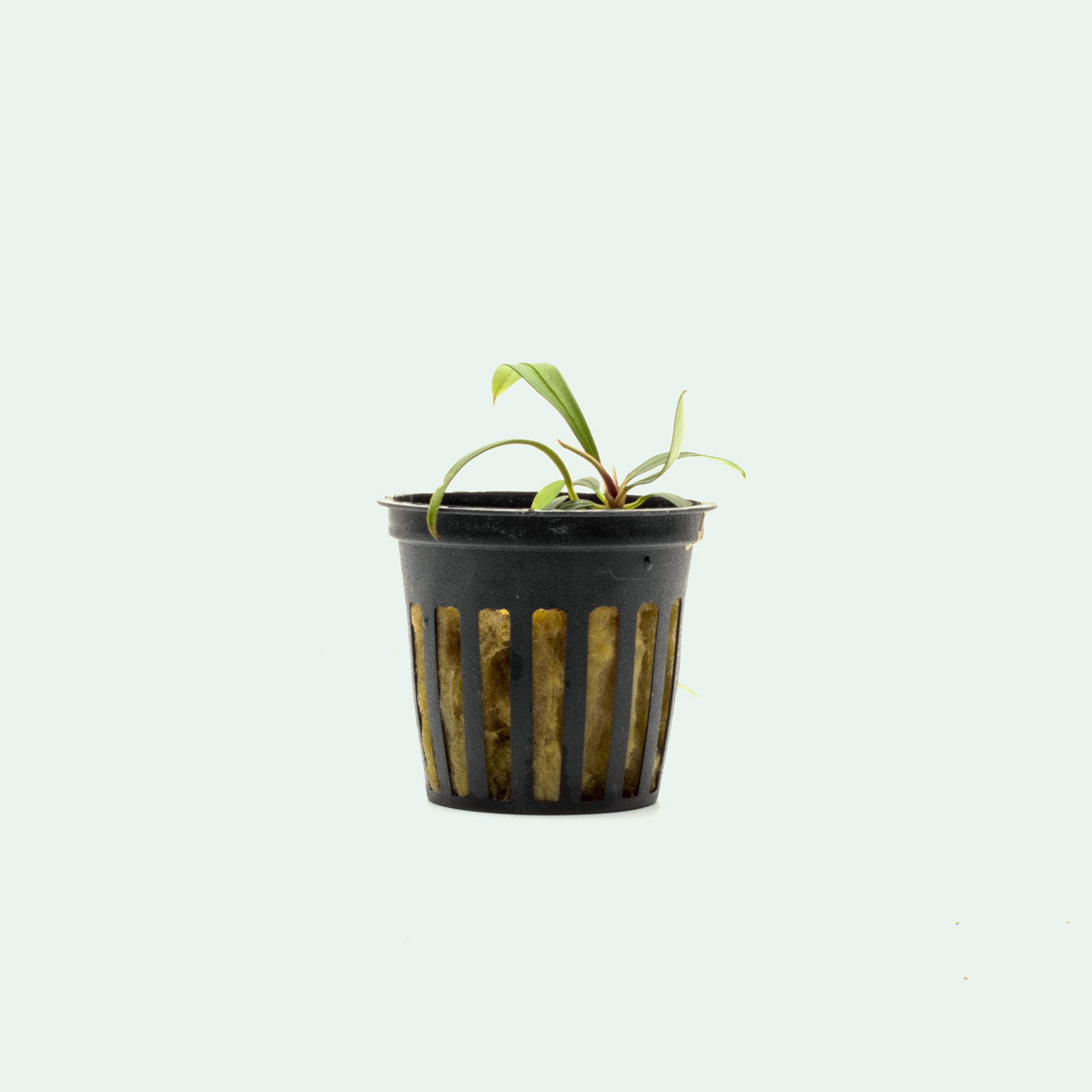 Shop Aridarum Mini Aquatic Plants - Glass Aqua
