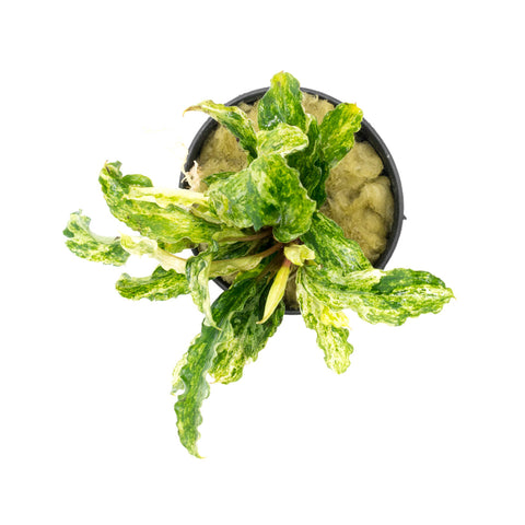 Shop Bucephalandra Variegated Marble Aquatic Plants - Glass Aqua