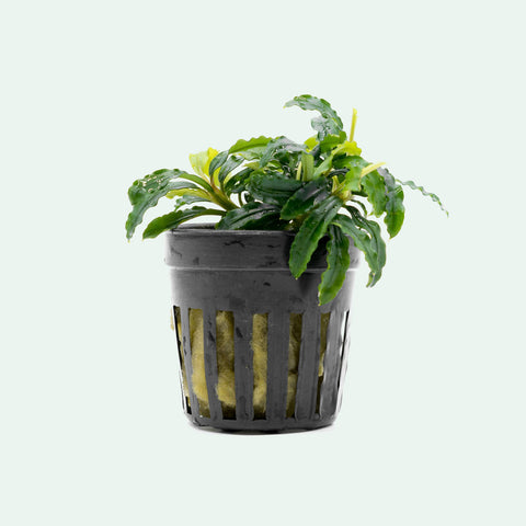 Shop Bucephalandra Biblis Blue Aquatic Plants - Glass Aqua