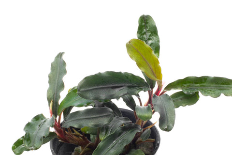 Shop Bucephalandra Dark Green Wavy Aquatic Plants - Glass Aqua