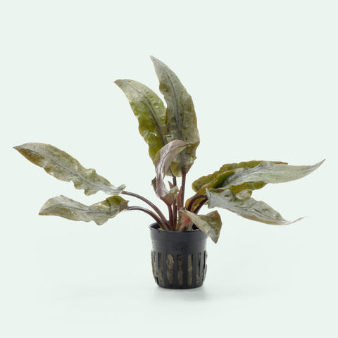 Shop Cryptocoryne Hudoroi Aquatic Plants - Glass Aqua
