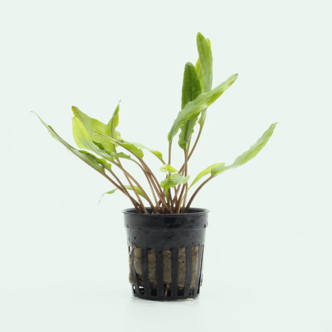 Shop Cryptocoryne Sri Lanka Aquatic Plants - Glass Aqua