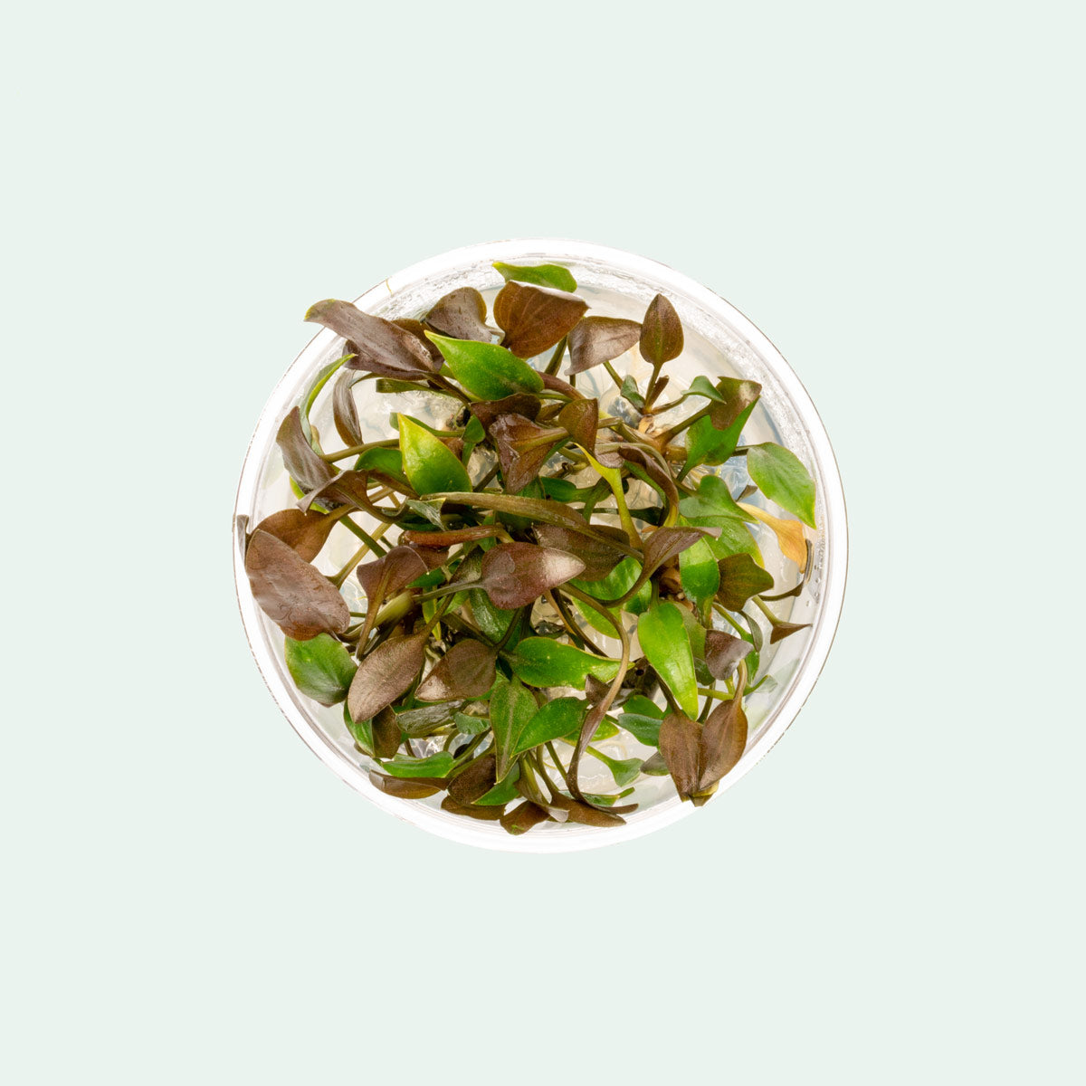 Shop Cryptocoryne Undulatus Tissue Culture Aquatic Plants - Glass Aqua