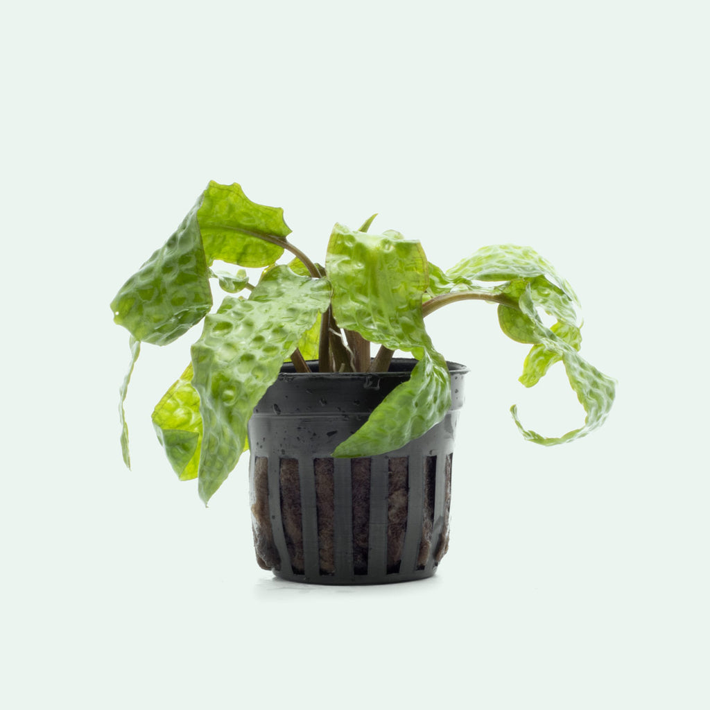 Shop Cryptocoryne Usteriana Aquatic Plants - Glass Aqua