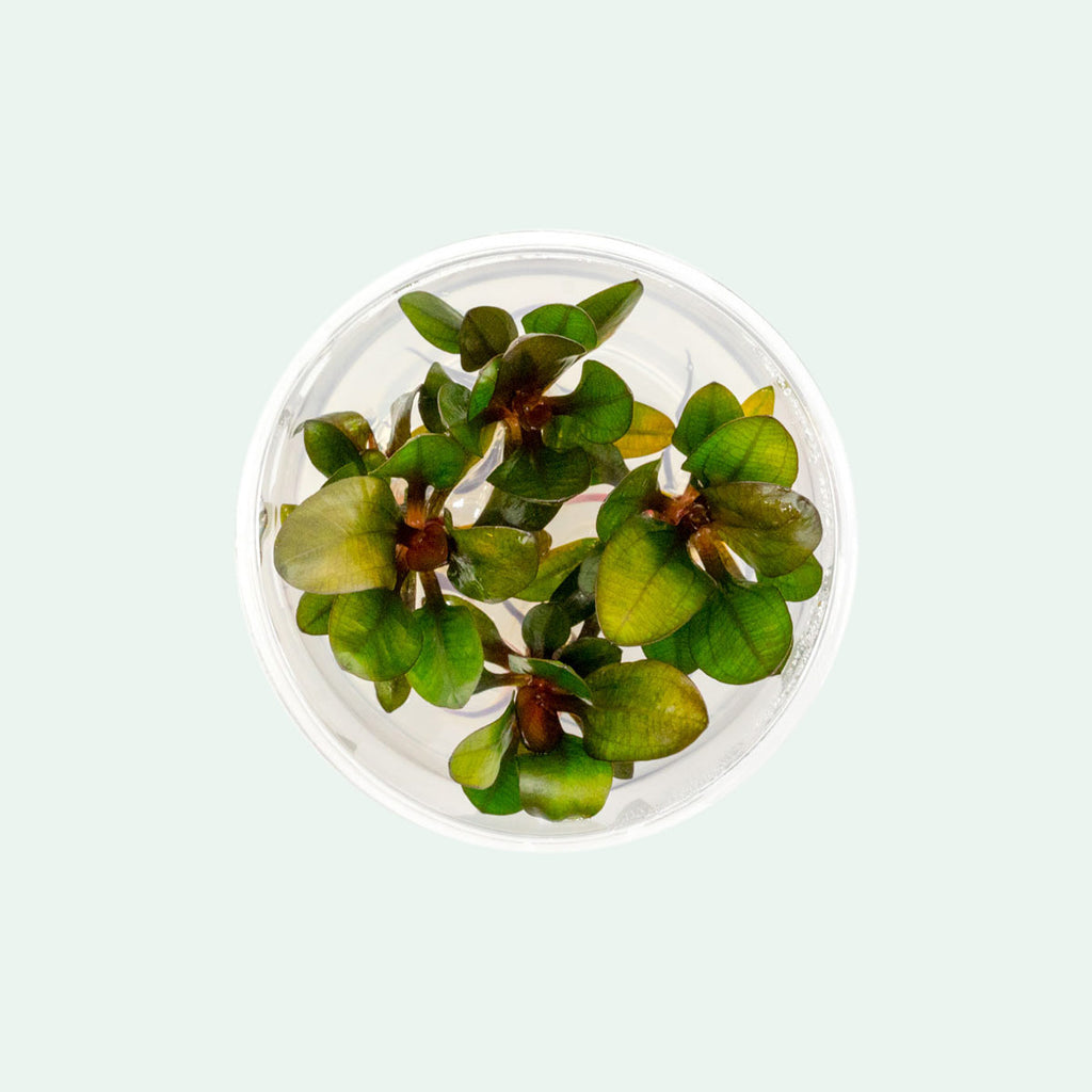 Shop Echinodorus Baby Bear Aquatic Plants - Glass Aqua