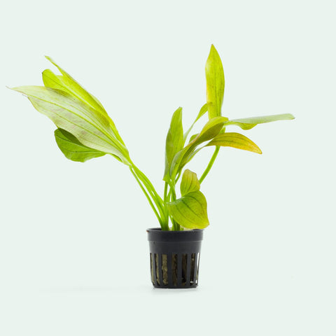 Shop Echinodorus Ozelot Green Aquatic Plants - Glass Aqua