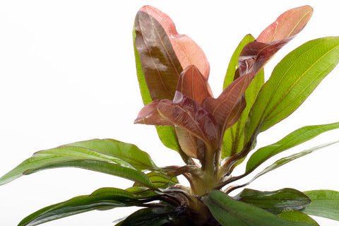 Shop Echinodorus Red Rubin Aquatic Plants - Glass Aqua