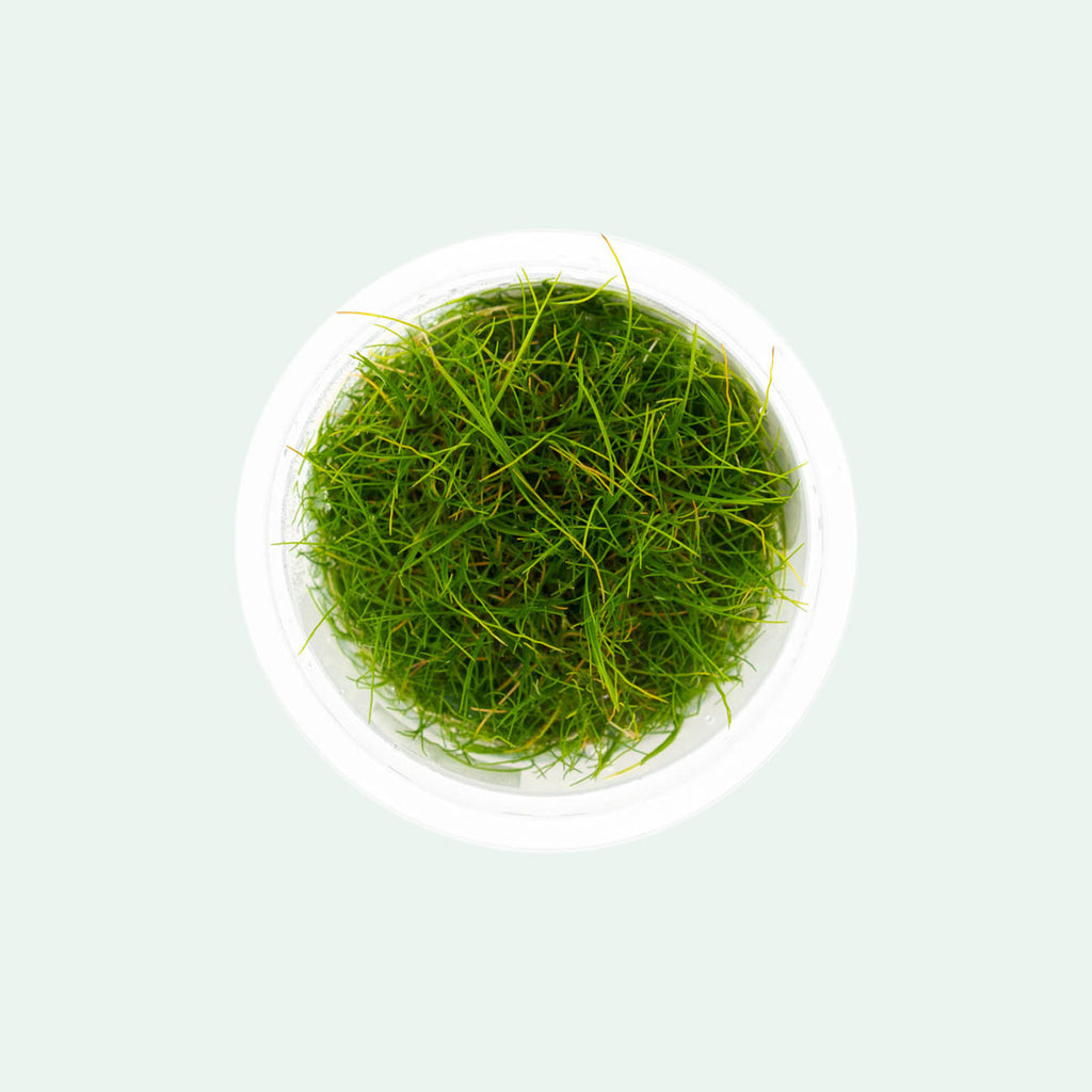 Shop Eleocharis Pusilla Aquatic Plants - Glass Aqua