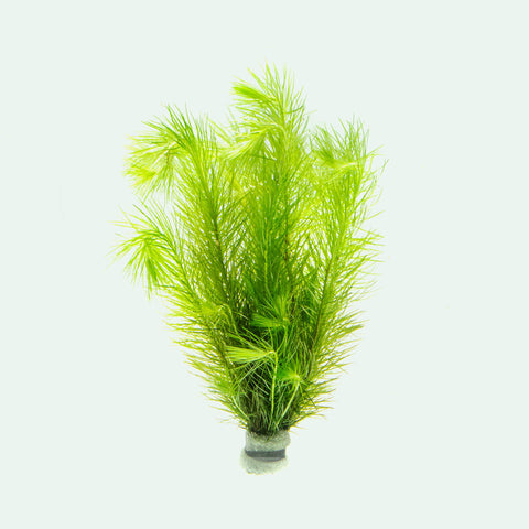 Eriocaulon Setaceum Live Aquarium Aquatic Plant for Planted Tanks