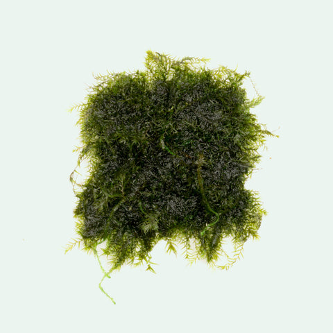 Shop Fissidens Fontanus Small Mat Aquatic Plants - Glass Aqua