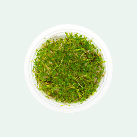 Shop Glossostigma Elatinoides Tissue Culture Aquatic Plants - Glass Aqua