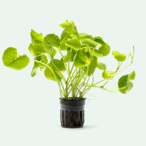 Shop Variegated Hydrocotyle Leucocephala Aquatic Plants - Glass Aqua