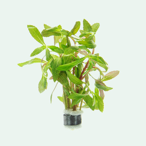 Limnophila Belem Aquatic Aquarium Plant for Planted Aquarium Tanks
