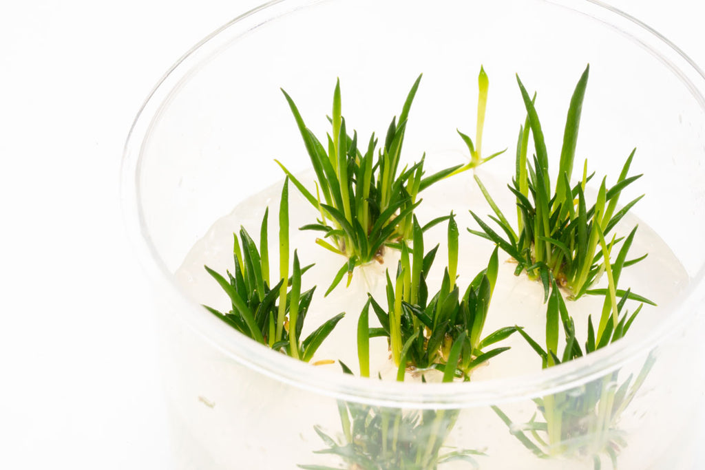 Shop Littorella Uniflora Tissue Culture Aquatic Plants - Glass Aqua