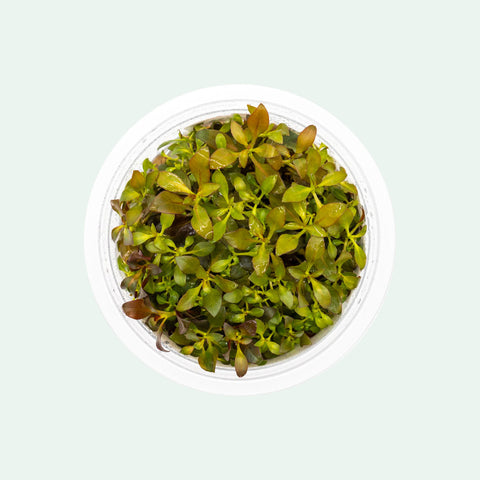 Shop Ludwigia Glandulosa Aquatic Plants - Glass Aqua