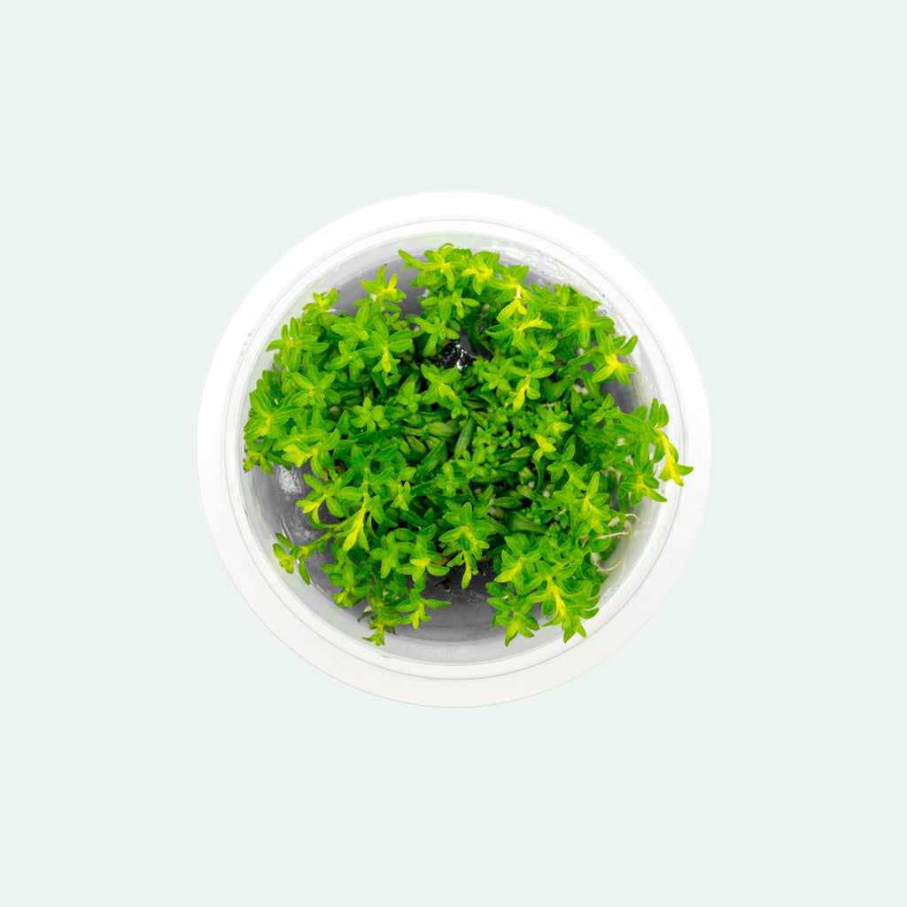 Shop Ludwigia Inclinata Cuba Aquatic Plants - Glass Aqua