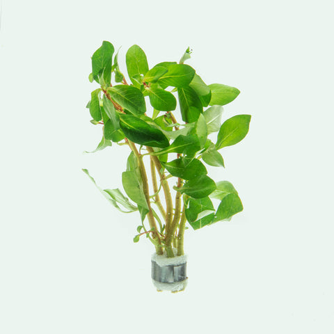 Ludwigia Marilia Rare Aquarium Stem Plant for Planted Aquarium Tanks
