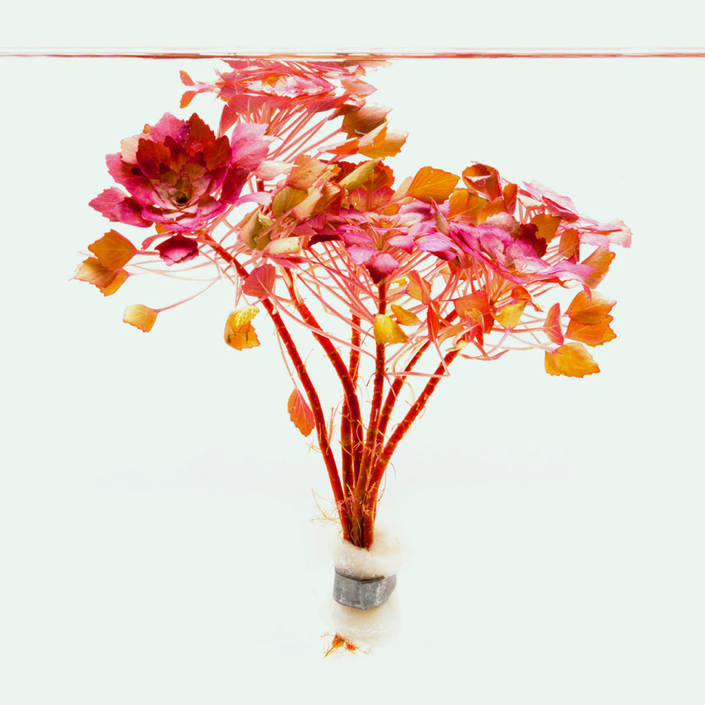 Shop Ludwigia Sedioides Aquatic Plants - Glass Aqua