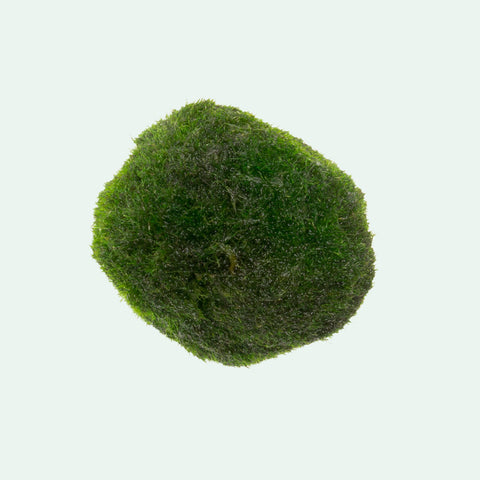 Shop Marimo Moss Ball Aquatic Plants - Glass Aqua
