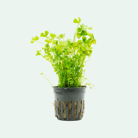 Shop Marsilea Crenata Aquatic Plants - Glass Aqua