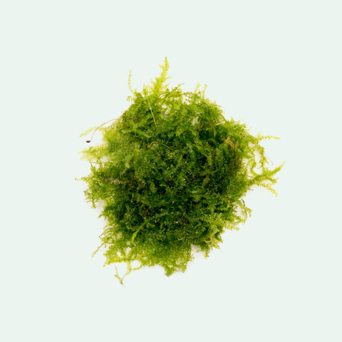 Shop Mini Christmas Moss Aquatic Plants - Glass Aqua