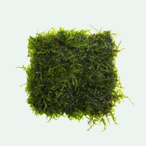 Mini Christmas Xmas Moss Easy Aquarium Moss Plant for Planted Tank