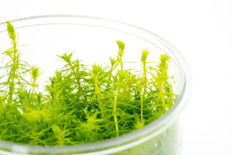 Shop Myriophyllum Elatinoides Tissue Culture Aquatic Plants - Glass Aqua