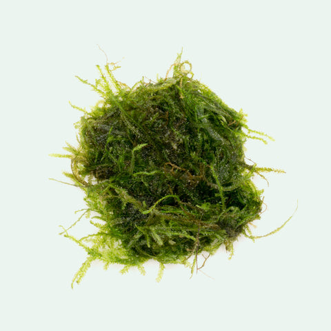 Shop Peacock Moss Aquatic Plants - Glass Aqua
