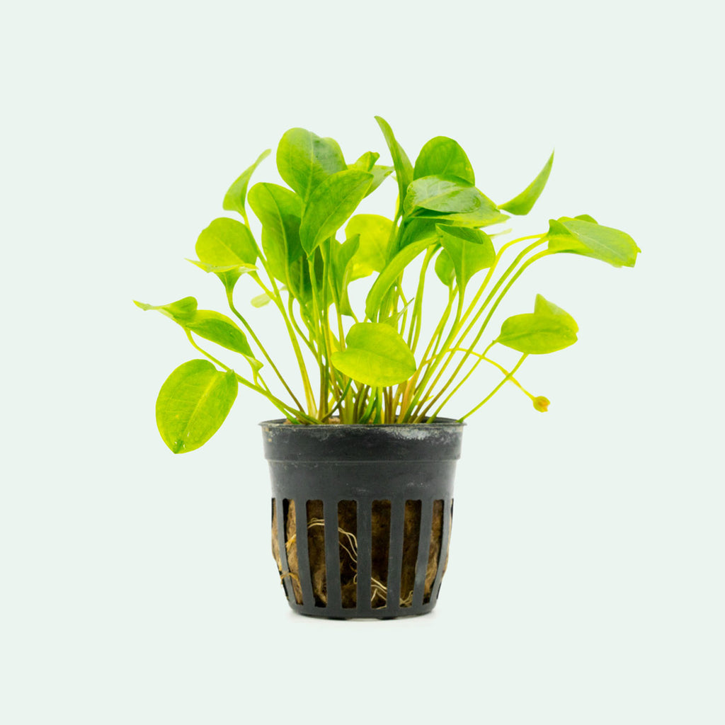 Shop Ranalisma Rostratum Aquatic Plants - Glass Aqua
