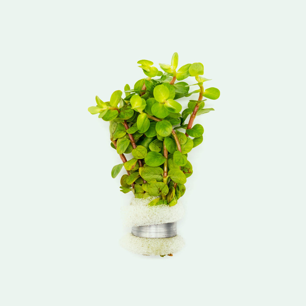Shop Rotala Macrandra Yellow Aquatic Plants - Glass Aqua