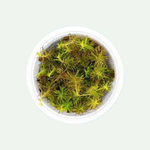 Shop Rotala Wallichii Tissue Culture Aquatic Plants - Glass Aqua