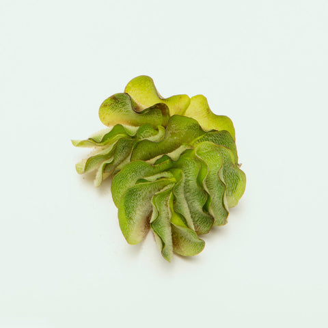 Shop Salvinia Natans Aquatic Plants - Glass Aqua