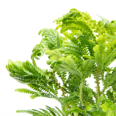 Selaginella Wallichi