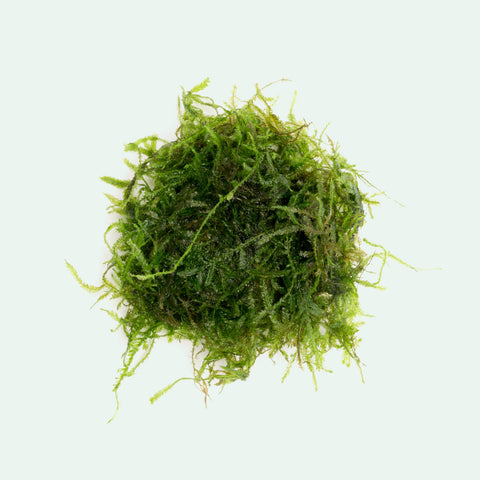 Shop Spiky Moss Aquatic Plants - Glass Aqua